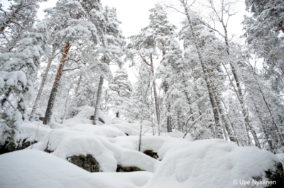 Oravivuoren kallioita ja mäntyjä peittää lumi.