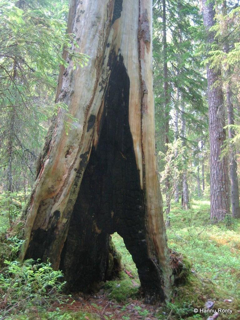 Metsäpalon vaikuttava muisto kelon tyvellä.