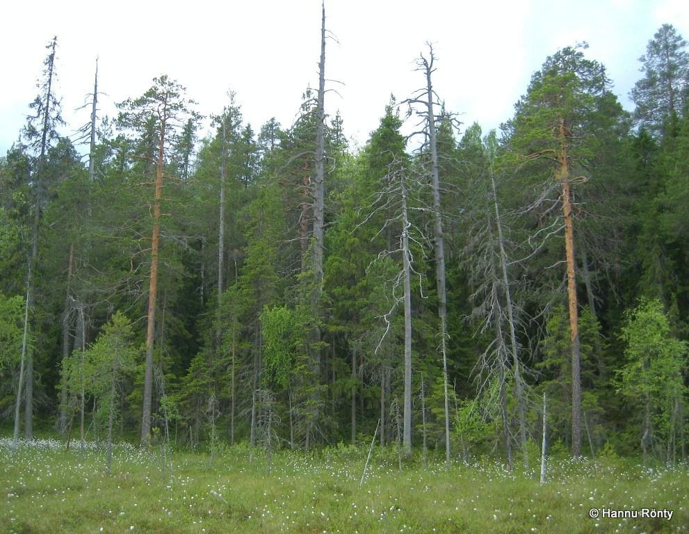 Keloutuneen metsän reunustama suolaikku Mastomäen polun keskellä.