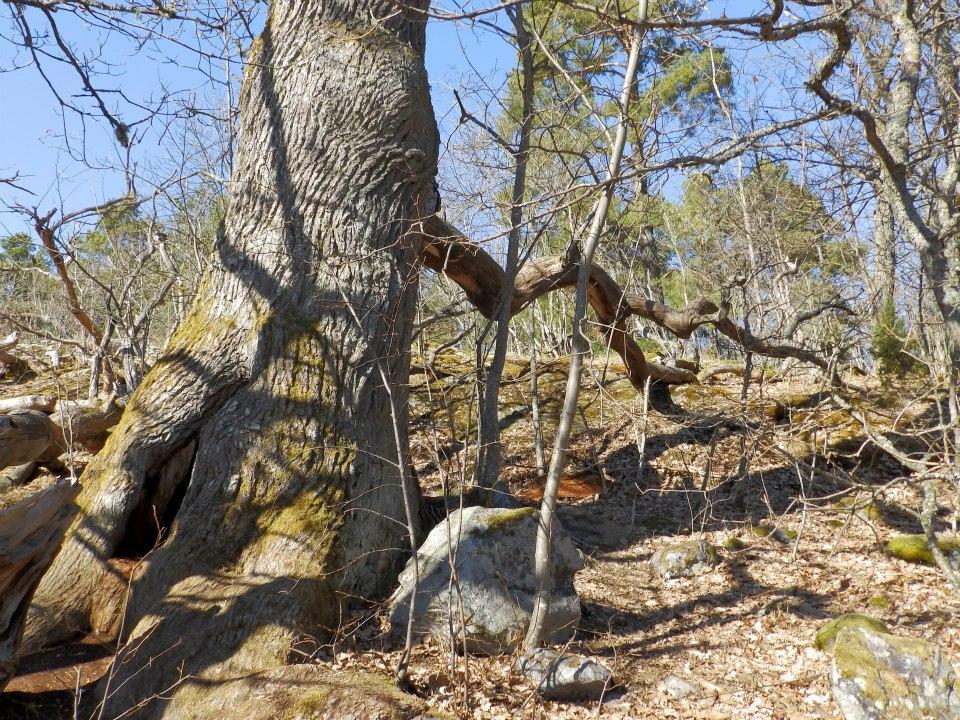 Vaarniemessä kasvavat todennäköisesti Turun seudun vanhimmat tammet.