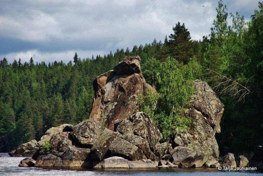 Tänä vuonna ei kalasääksi pesinyt kiviluodolla.