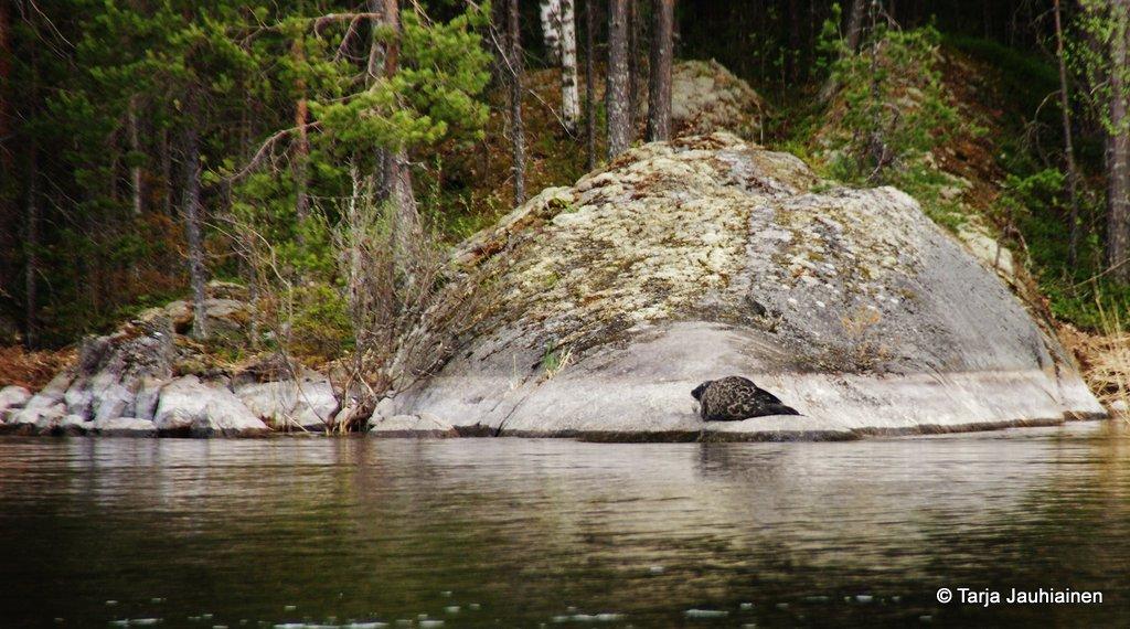 Saimaannorppamme sulautuu hyvin sammaleiseen kallioon