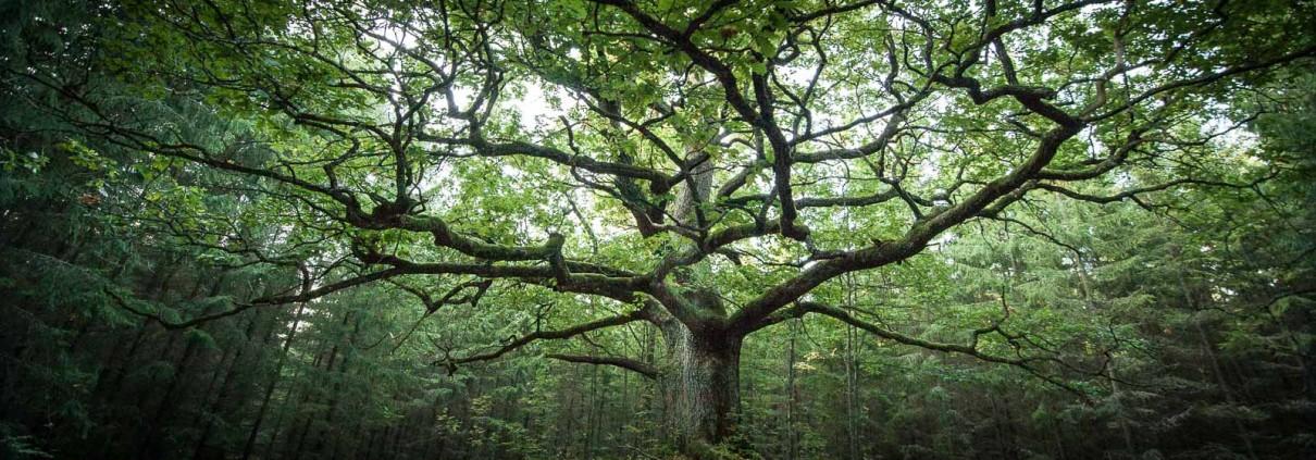 Suomen Yleisin Puu