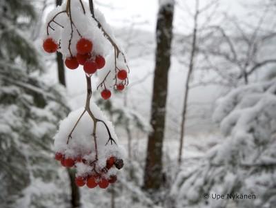 Luminen pihlajanmarjaterttu