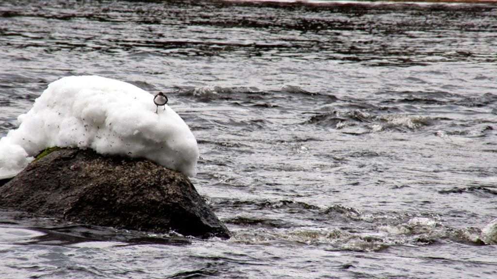 Tässäkin koskessa pulikoi myös koskikara, joka määrätietoisesti marssii tekemään seuraavaa saalissukellusta.