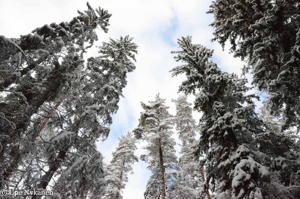 Lumikuuset Touruvuoren luontopolulla