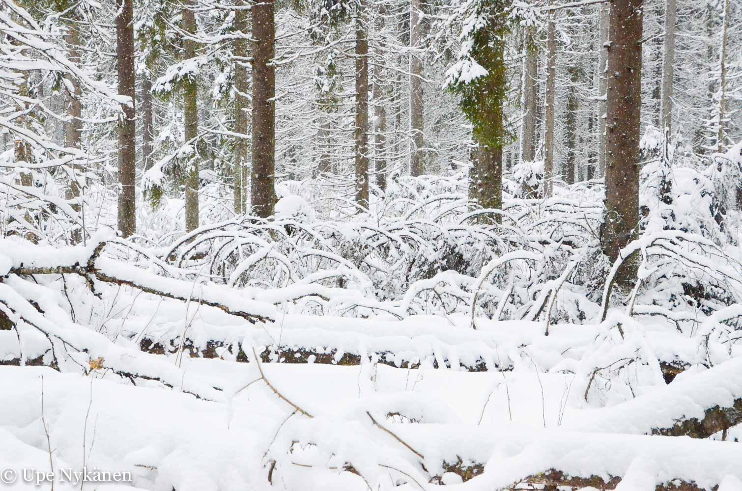 Kaatuneita puunrunkoja Sallaajärvellä