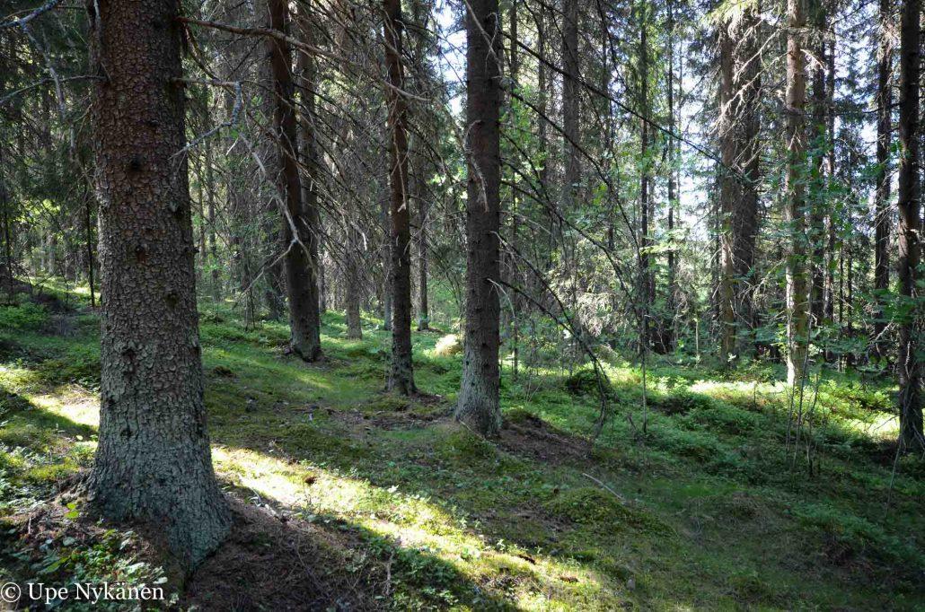 Kuusikkoa Nyrölän luontopolulla