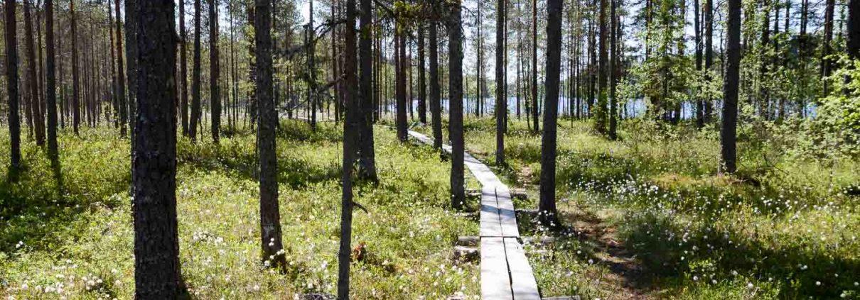 Pitkospuut Nyrölän luontopolulla