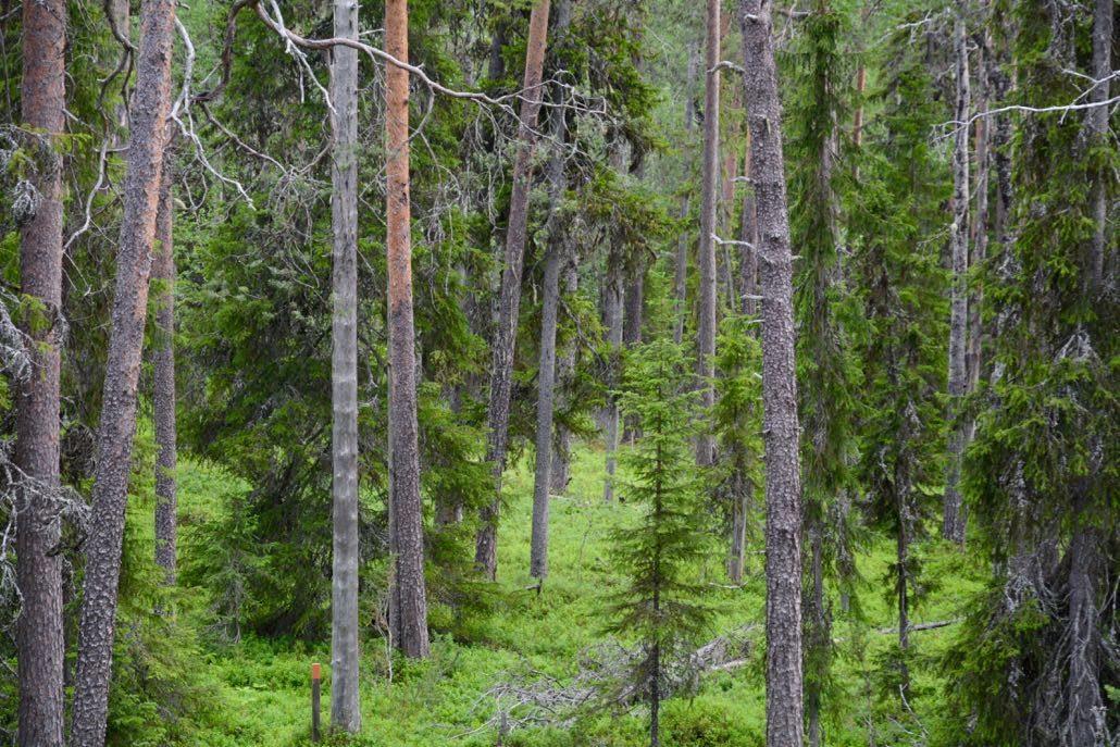 Vanhaa metsää