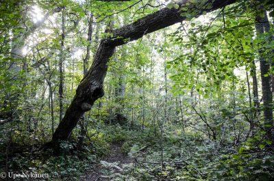 Kaatunut puu luontopolun yllä