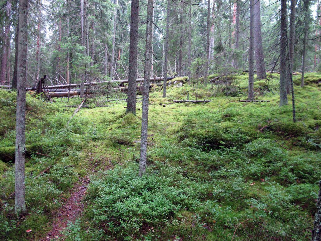 Pian alkoi aarnimetsä, jota hallitsi rämettynyt metsä, maatuvat puut ja sammaloituneet kivet.