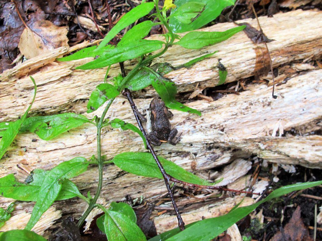 Peukalonpään kokoisia sammakonpoikasia loikki teitä ristiin rastiin.