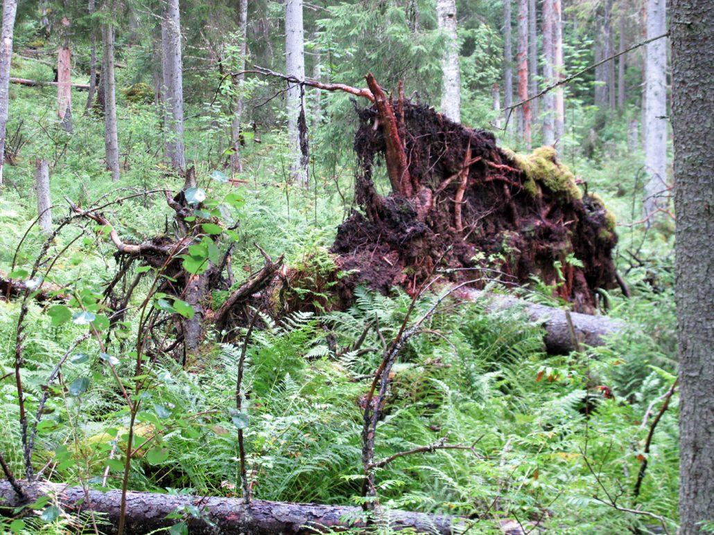 Paikoitellen näkyi rajujen myrskyjen juuriltaan kiskomia puita.