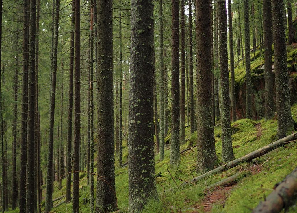 Kauhalan metsä ja puita Kirkkonummen Kauhalan jyrkänteitä Kuva: Terhi Jaakkola
