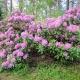 Alppiruusupensas kukkii Koskelanpuistossa Äänekoskella. Kuva: Elina Tarvainen