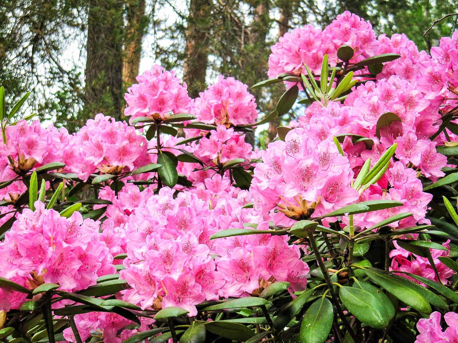 Pinkit rhododendronit Koskelanpuistossa Äänekoskella. Kuva: Elina Tarvainen