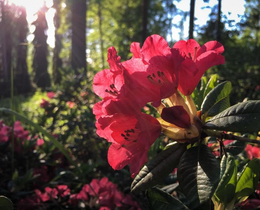 Rhododendron kukkii. Kuva: Upe Nykänen