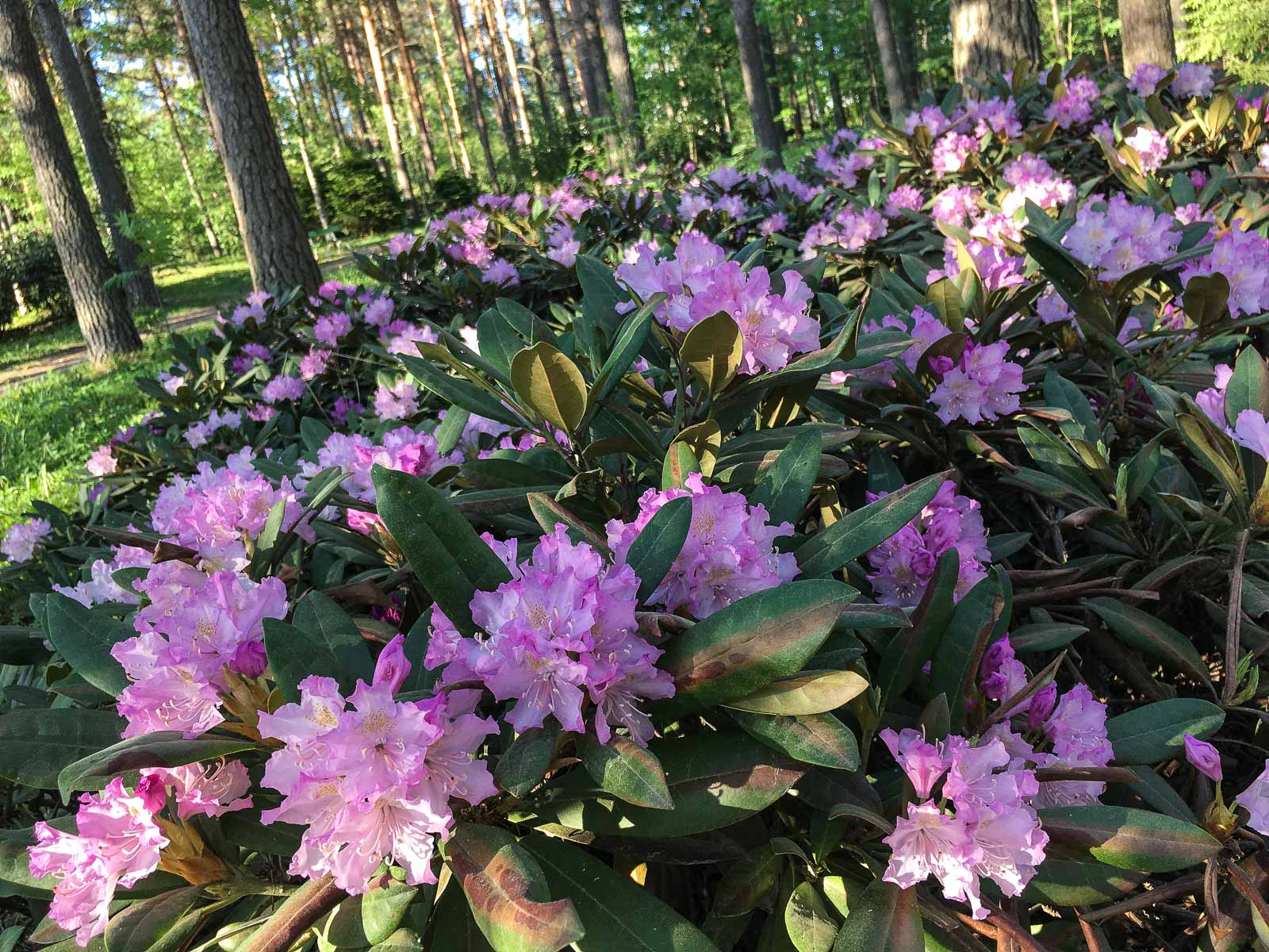 Rhododendron kukkii Koskelanpuistossa, Äänekoski. Kuva: Upe Nykänen