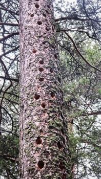 Tikkojen suosikkimänty Koskelanpuistossa. Kuva: Elina Tarvainen