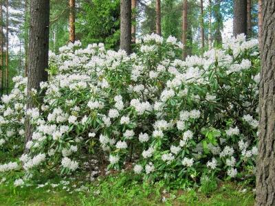 Valkoisia alppiruusuja Äänekosken Koskelan puistossa. Kuva: Elina Tarvainen