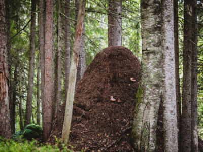 Ruunaa ja muhkea muurahaispesä Kuva: Terhi Ilosaari