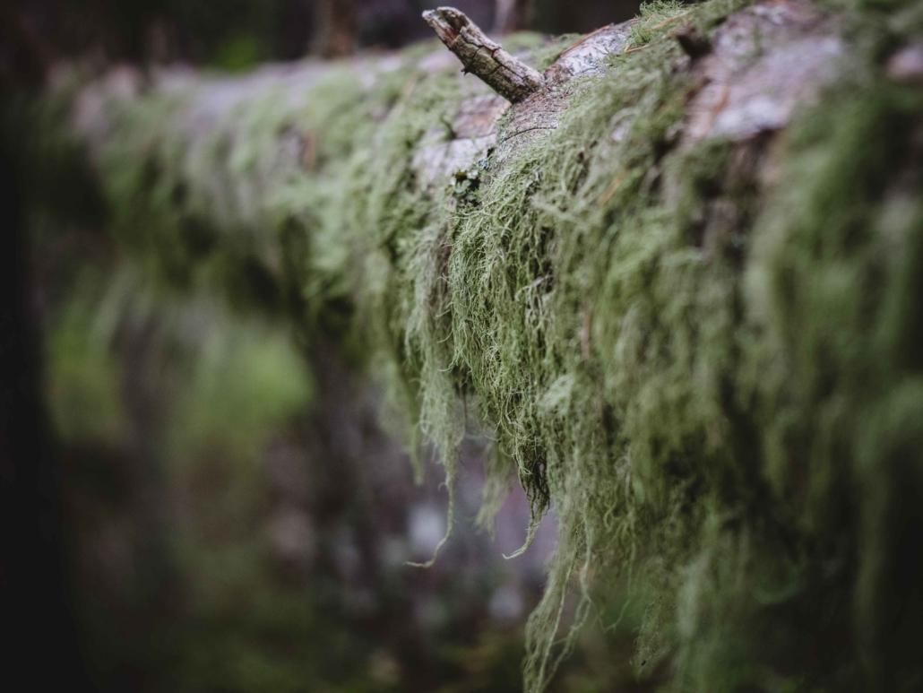 Vihreään verhoutunut puunrunko Ruunaalla Kuva: Terhi Ilosaari