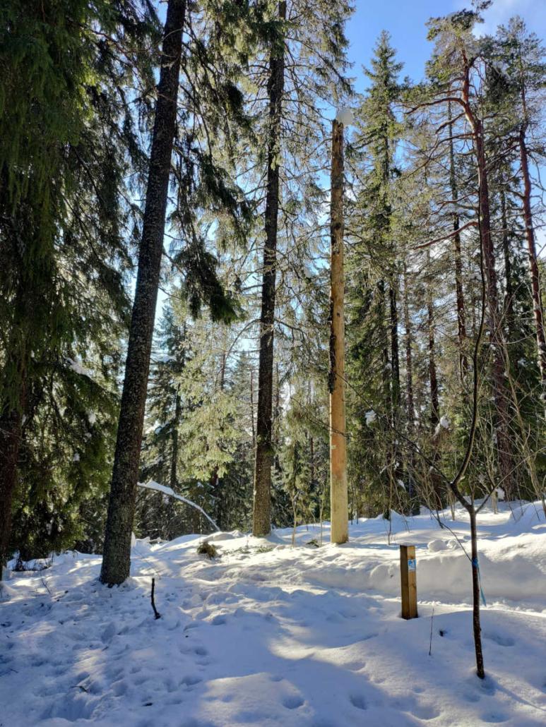 Talvista metsää ja Puijon maastopyöräreitin opastepaalu. Polku kulkee halki metsän.