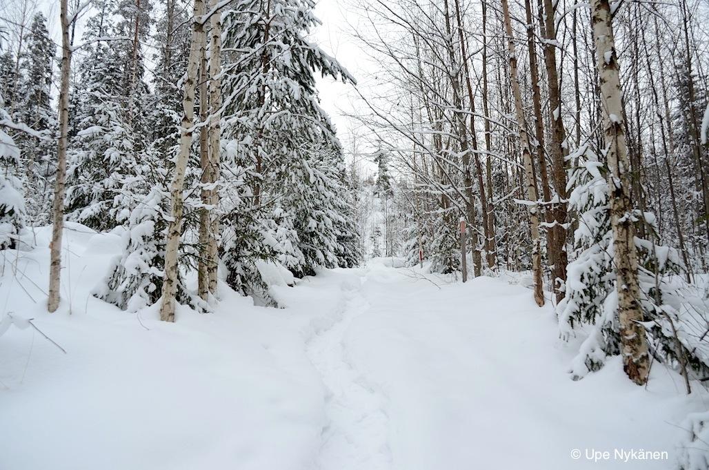 Lumikenkien tekemä polkujälki, koivikon välissä.